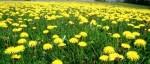 Dandelions, brooksidelawnservice.com