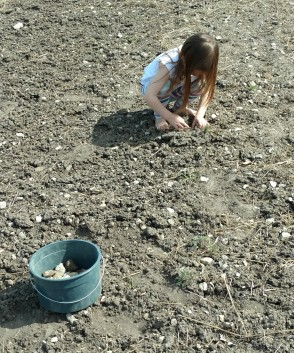 Cambria picking rocks out of the garden, 2016