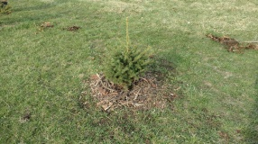planted tree