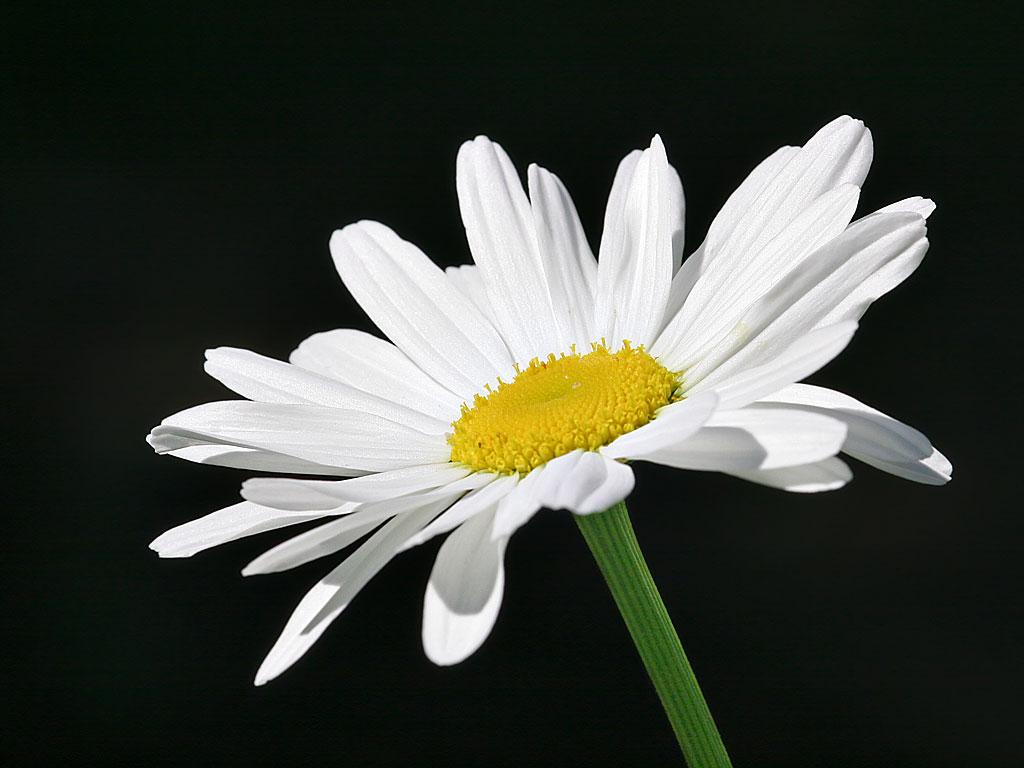 Musings Flower Meanings