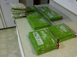 Peas ready for freezer