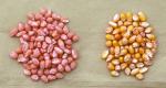 Treated Corn, lsuagcenter.com