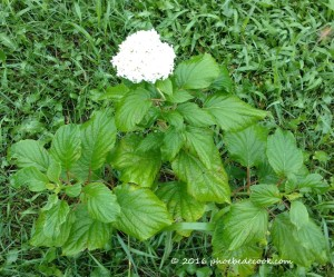 Hydrangea blooming, phoebedecook.com