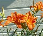Day Lilies, phoebedecook.com
