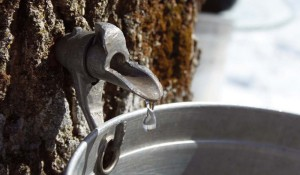 Maple Sap, northernwoodlands.org