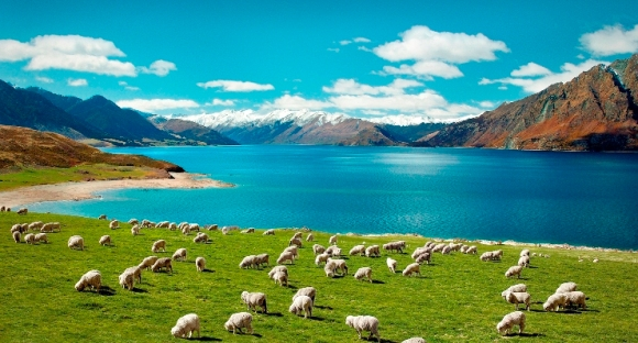 Sheep in New Zealand, woolblog.com